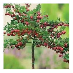 Agris rosu-'Piros Izletes' - altoit pe trunchi