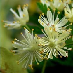 Tilia cordata - tei cu frunza mică