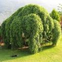 Sophora japonica pendula - Salcâm japonez pletos