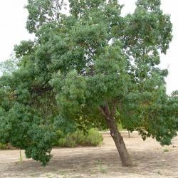 Fraxinus angustifolia- Frasinul de luncă