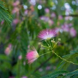 Albizzia julibrissin - Arbore de matase