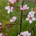 Prunus cerasifera Nigra - Cseresznyeszilva
