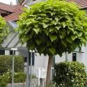 Catalpa bignonioides nana - Arbore Trompetă