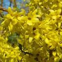 Forsythia suspensa - Ploaie de aur