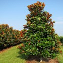 Magnolia grandiflora-Magnolie veşnic verde