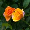 ROSA SSP.- Trandafir