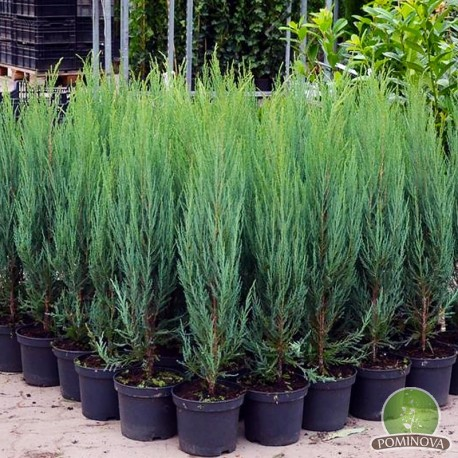 Juniperus virginiana Blue Arrow