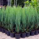 Juniperus virginiana Blue Arrow - Ienupăr Blue Arrow