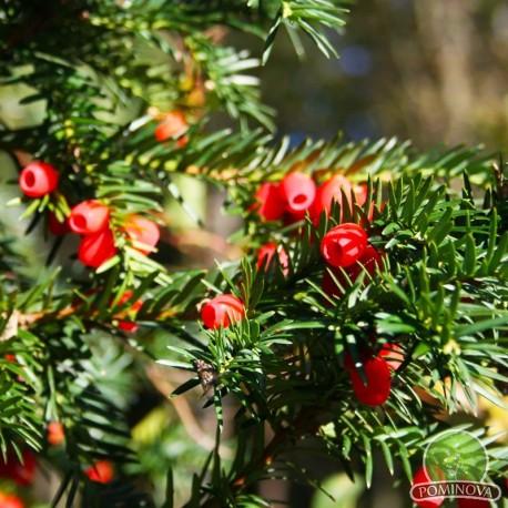 Taxus baccata Hicksii - Tisa
