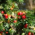 Taxus baccata Hicksii - Tisa Hicksii