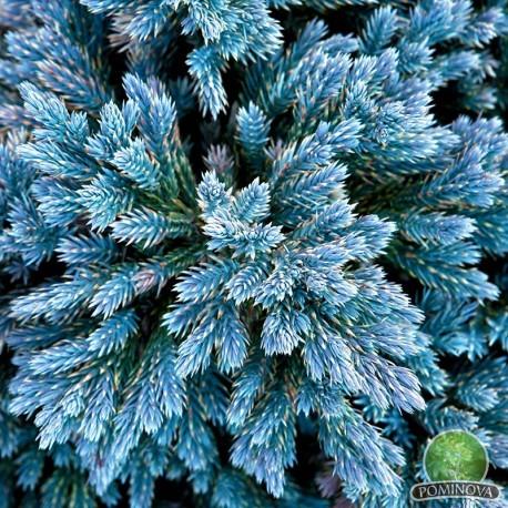 Juniperus Blue Star