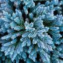 Juniperus Blue Star - Ienupăr Blue Star
