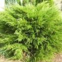 Juniperus Mint Julep - Ienupăr Mint Julep