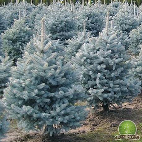 Picea Pungens - Brad Argintiu