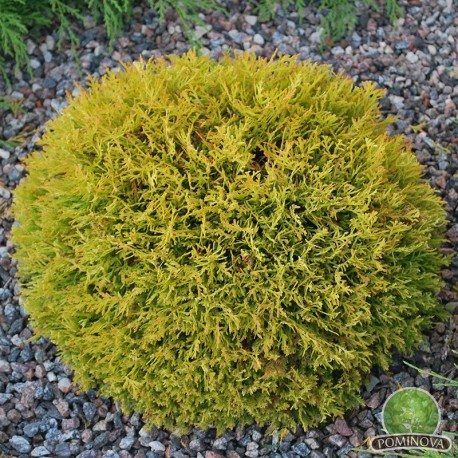 Thuja occidentalis Golden Globe