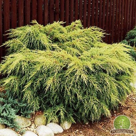 Juniperus Old Gold