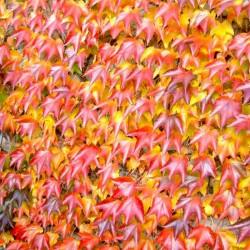 Parthenocissus tricuspidata – viţa de vie sălbatică