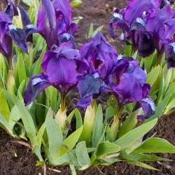 Plante perene - Iris pumila