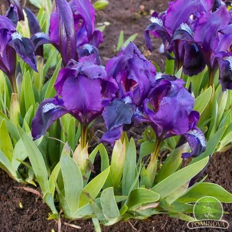 Plante perene: Iris pumila