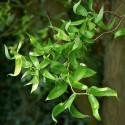 Salix matsudana - Salcie japoneză