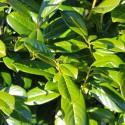 Prunus laurocerasus - Novita - Laur englezesc