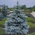 Picea Pungens Hoopsii - Molid argintiu Hoopsii