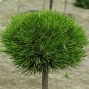 Pinus densiflora 'Alice Verkade' - Pin roșu japonez