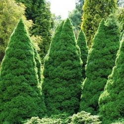 Picea Glauca Conica - Molid canadian