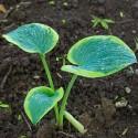 Plante perene: Hosta 'Minuteman'