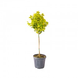 Euonymus variegata pe trunchi