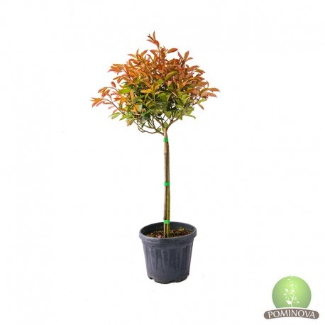 Photinia fraseri little red robin pe trunchi
