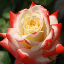 Printesa - trandafir tip tufa,rosu cu alb