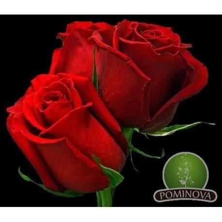Red Berlin - trandafir tp tufa rosu