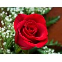 Grand Gala - trandafir tip tufa,rosu inchis