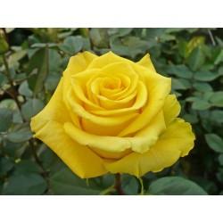 Kerio - trandafir tip tufa,galben