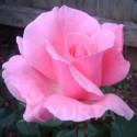 England - trandafir tip tufa,roz