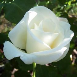 Virgo - trandafir tip tufa,alb