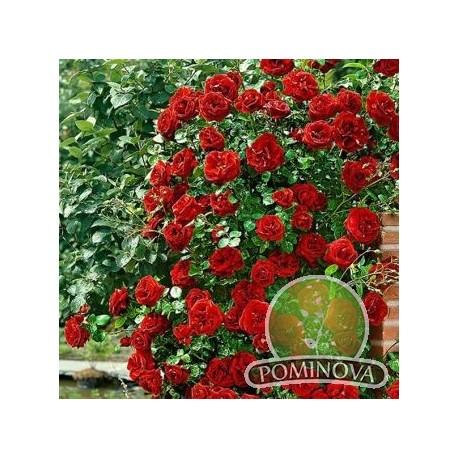 Simpatia - trandafir catarator,rosu