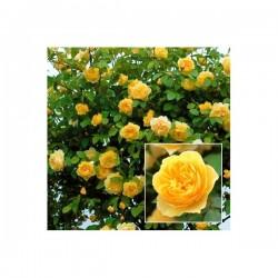 GoldenShowres - trandafir catarator,galben