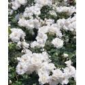 SwanLake - trandafir catarator,alb