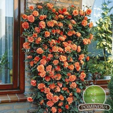 Orange - trandafir catarator,portocaliu