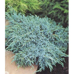 Juniperus (communis) Green Carpet