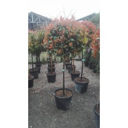 PHOTINIA FRASERI RED ROBIN PE TRUNCHI