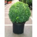 Buxus Sempervirens -Cismir