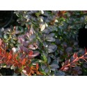 Berberis 'Red Jewel