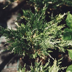"Juniperus horizontalis ""Andorra Compacta Variegata"" – Ienupăr variegat"
