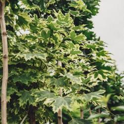 Acer Platanoides Drummondii - Artar Dummondii