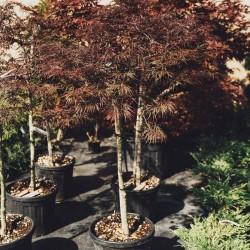 Acer palmatum Inaba Shidare - Artat Japonez Inaba Shidare