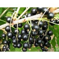 Fertodi 1 - Coacaz negru - altoit pe trunchi