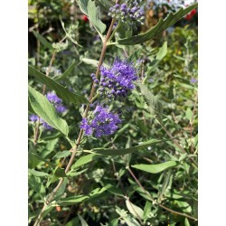 "Caryopteris x clandonensis ""Heavenly Blue"""